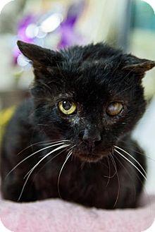 Bombay Cat for adoption in Wayne, Pennsylvania - Mr. Black