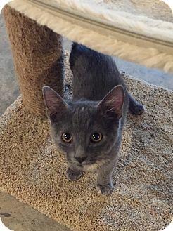 Domestic Shorthair Cat for adoption in Morganton, North Carolina - London