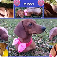 Dachshund Dog for adoption in Pearland, Texas - Missy