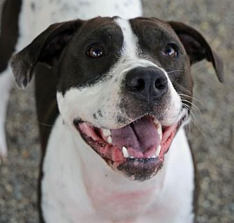 Terrier (Unknown Type, Medium)/American Staffordshire Terrier Mix Dog for adoption in Roseville, California - Eevee