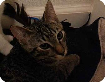 Domestic Shorthair Kitten for adoption in Alamo, California - Cricket