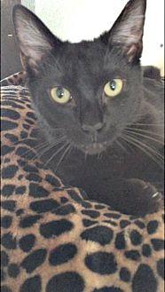 Domestic Shorthair Kitten for adoption in Spring Lake, New Jersey - Belle