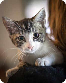 Domestic Shorthair Kitten for adoption in St Helena, California - Cheerio