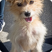 Adopt A Pet :: Sylvie - Loudonville, NY