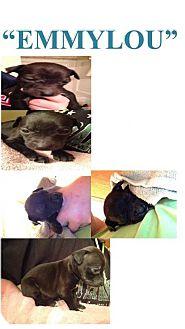 Labrador Retriever Mix Puppy for adoption in Maple Grove, Minnesota - EmmyLou