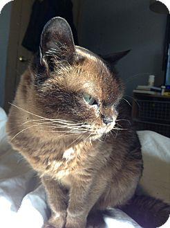 Burmese Cat for adoption in Columbus, Ohio - Cocoa
