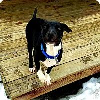 Adopt A Pet :: Farris - $300 Adoption fee! - Ascutney, VT