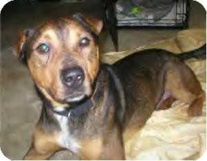 Shar Pei/Shepherd (Unknown Type) Mix Dog for adoption in Youngstown, Ohio - Albert