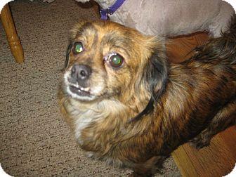 Shih Tzu/Chihuahua Mix Dog for adoption in Prole, Iowa - Lauren