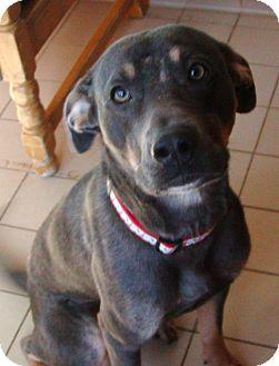 Doberman Pinscher Mix Dog for adoption in Jackson, Michigan - Max