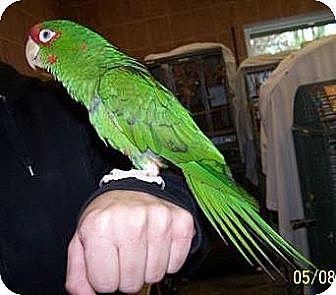 Conure for adoption in Northbrook, Illinois - Rusty
