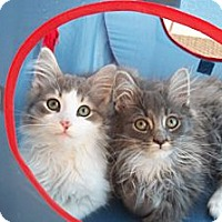Adopt A Pet :: Bert & Ernie - Acme, PA