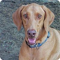 Vizsla/Doberman Pinscher Mix Dog for adoption in San Antonio, Texas - Duke