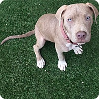 Adopt A Pet :: Lana - Los Angeles, CA