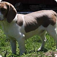 Adopt A Pet :: Burt - Joplin, MO
