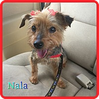 Adopt A Pet :: Nala - Hollywood, FL