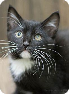 Domestic Shorthair Kitten for adoption in Modesto, California - Winston