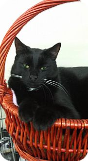 Domestic Shorthair Cat for adoption in Smithtown, New York - RUFUS