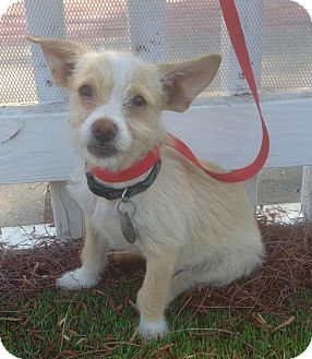 Jack Russell Terrier/Cairn Terrier Mix Puppy for adoption in Santa Ana, California - Rupert (BH)