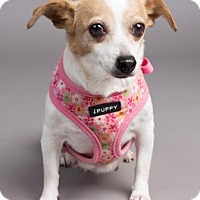 Jack Russell Terrier Mix Dog for adoption in Columbia, South Carolina - Jess