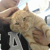 Domestic Shorthair Cat for adoption in San Bernardino, California - URGENT on 9/21 San Bernardino