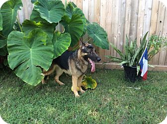 German Shepherd Dog Mix Dog for adoption in Houston, Texas - Jethro