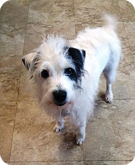 Jack Russell Terrier Mix Dog for adoption in Chicago, Illinois - Sophie