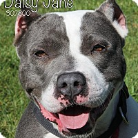 Adopt A Pet :: Daisy Jane - Troy, MI