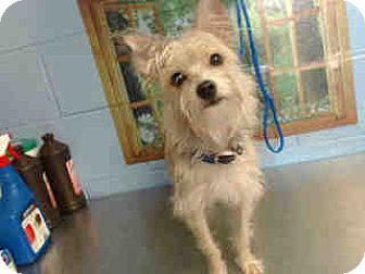 Silky Terrier/Cairn Terrier Mix Dog for adoption in San Bernardino, California - URGENT ON 11/1  San Bernardino