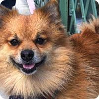 Adopt A Pet :: Parsley Pom - Woodland Park, NJ