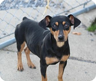 Dachshund/Miniature Pinscher Mix Dog for adoption in Liberty Center, Ohio - Big Shot