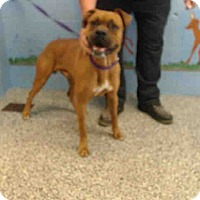 Boxer Mix Dog for adoption in San Bernardino, California - URGENT ON 11/1  San Bernardino