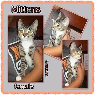 Domestic Shorthair Kitten for adoption in Richmond, California - Mittens