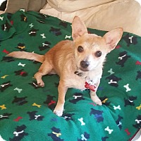 Cairn Terrier/Chihuahua Mix Dog for adoption in Orange Park, Florida - Bonny