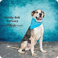 Catahoula Leopard Dog Mix Dog for adoption in Conroe, Texas - HARELY-BOB