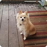Adopt A Pet :: Roomba - conroe, TX