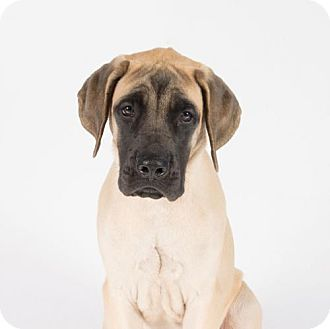 Mastiff Puppy for adoption in St. Louis Park, Minnesota - Dozer