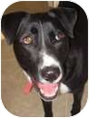 Labrador Retriever Mix Dog for adoption in Xenia, Ohio - Duke *Courtesy/Urgent