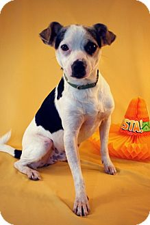 Rat Terrier Mix Dog for adoption in Marion, Wisconsin - Luke