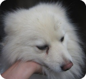 American Eskimo Dog Mix Dog for adoption in Sacramento, California - Max of Sacramento,CA