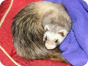 Ferret for adoption in Buxton, Maine - Diablo