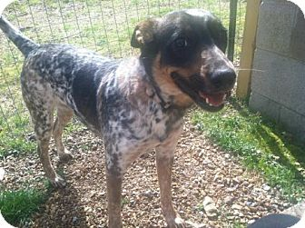 Blue Heeler/Australian Cattle Dog Mix Dog for adoption in Hagerstown, Maryland - Sadie Blue