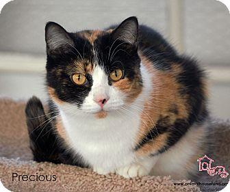 Domestic Shorthair Cat for adoption in St Louis, Missouri - Precious