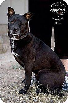 Labrador Retriever/Shepherd (Unknown Type) Mix Dog for adoption in Chandler, Arizona - MISSY
