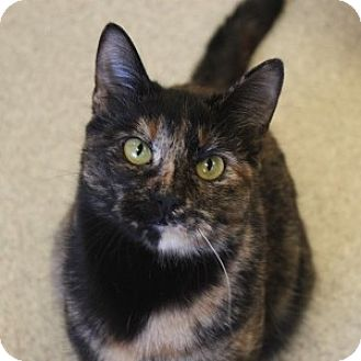 Domestic Shorthair Cat for adoption in Naperville, Illinois - Sadie