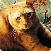 Adopt A Pet :: FRITZY TIBBSY-GENTLE LOVER BOY - New York, NY