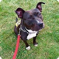 Adopt A Pet :: Dahlia - Trenton, NJ
