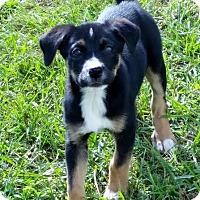 Adopt A Pet :: Abigail - Bedford, VA