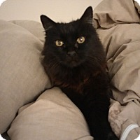 Domestic Mediumhair Cat for adoption in Los Angeles, California - Destiny