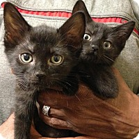Adopt A Pet :: Pair of Purrfect Persian Mix Polydactyl Kittens - Brooklyn, NY